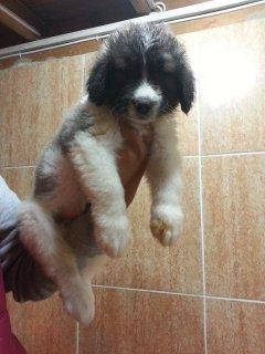 كلب قفقازي