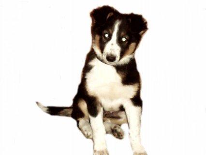 اجمل كلب كولى بوردر( Border Collie ) ذكر شهرين ونصف