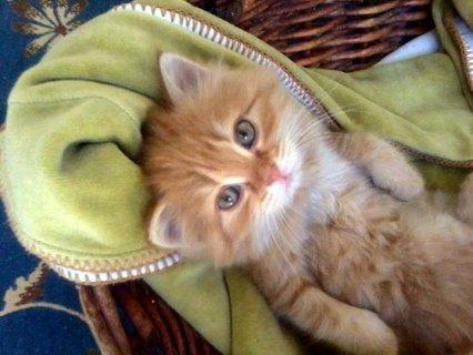 قطه شيرازى موون فيس اموره وشقيه
