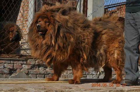 Like a lion dogs from China