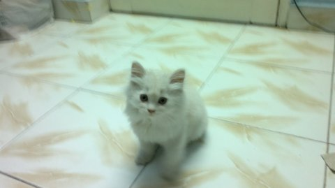 قط ولد شيرازى