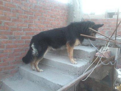 جيرمن كلب مالوش حل