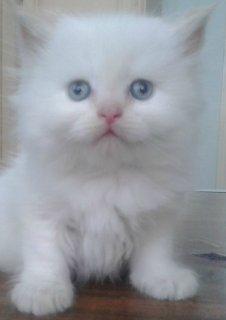 3 قطط شيرازى هاف بيكى العمر 50 يوم - شعر كثيف - ارجل قصيره