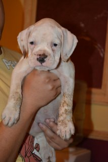 صور WHITE BOXER FOR SALE  1