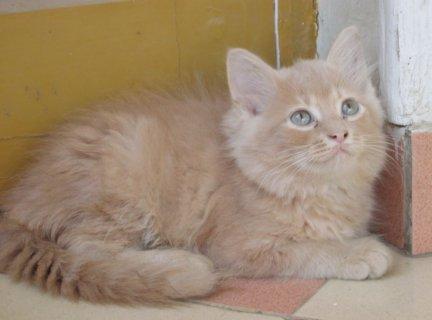 3 قطط  للبيع عمر 3 شهور
