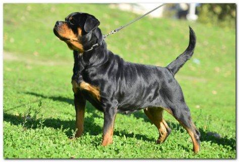Rottweiler female for sale ---انثي روت فايلر للبيع