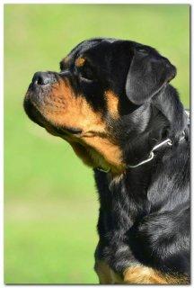 Super Rottweiler female for sale  ---  انثي روت فايلر للبيع