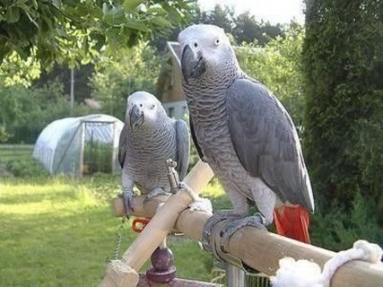 Well Trained Congo African Grey Parrots Now Available for Adopti