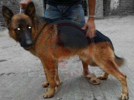 كلب جيرمن شيبرد موصفات رائعة وتدريبات علي افضل مستوي