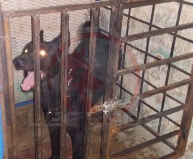 كلب رويل بلاك يصلح لجميع انواع الحراسات