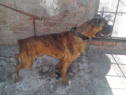 كلب بوكسر 13 شهر