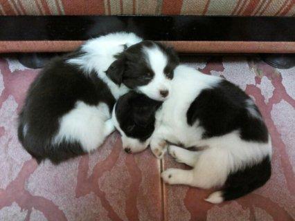كلاب japanese chin سلالة نادرة