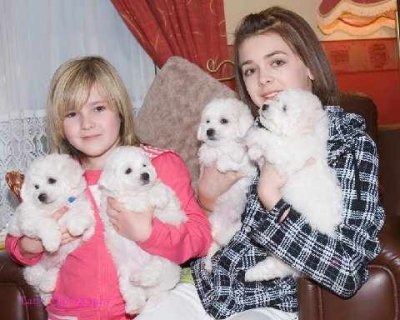vely Bichon Frise puppies for you and your