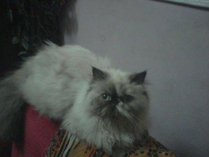 بيع قطة زورار بوينت تشوكلات قمر