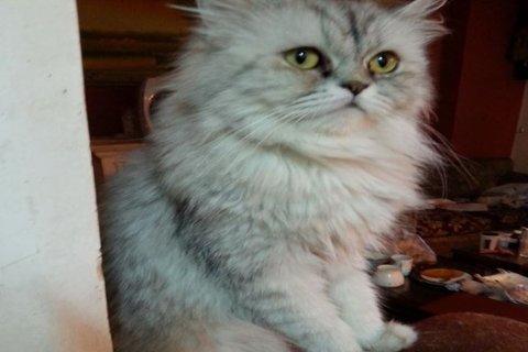 للبيع قطة متلقحة من زورار وسعرها خرافى