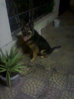 كلب جيرمن شيبرد لونج هير دكر للبيع