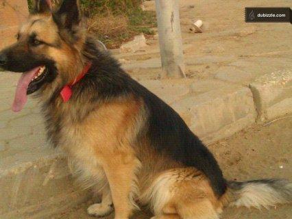 كلب ذكر جيرمن شيبرد لونج هير مواصفات عالية للزواج فقط