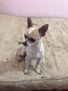 chiwawa dog for sale