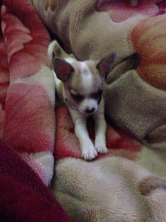 صور chiwawa dog for sale  2