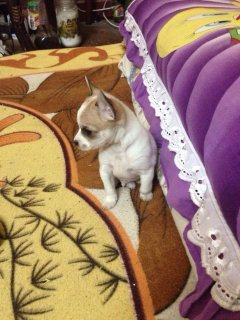 صور chiwawa dog for sale  3