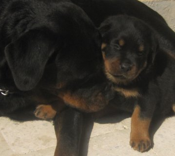Champion Rottweiler Puppies 45 Days