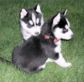 Blue Eyes Siberian Huskies for Adoption