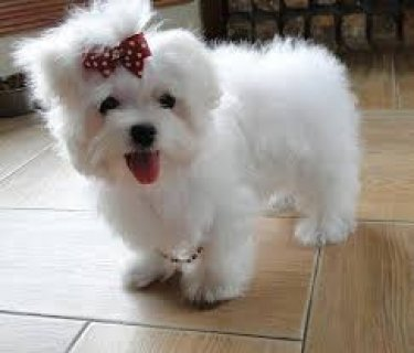 Lovely White Teacup Maltese Puppies