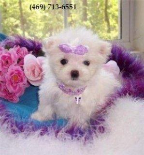 Purebred Maltese Pups for Sale