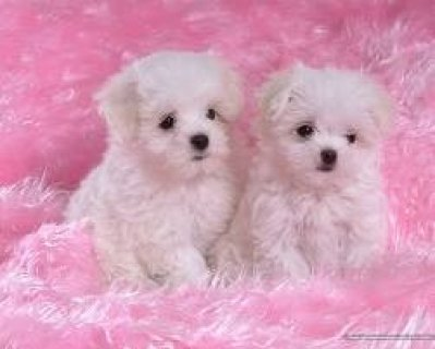 Most Demanded T-cup Maltese Pupps