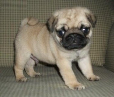 Rambo Rambo Pug Puppies Ready
