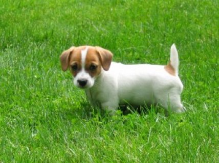 Pure-bred Jack Russell Terrier