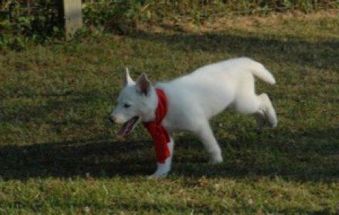 AKC registered siberian Husky dogs