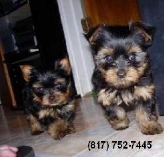 Male Yorkie Puppies Available