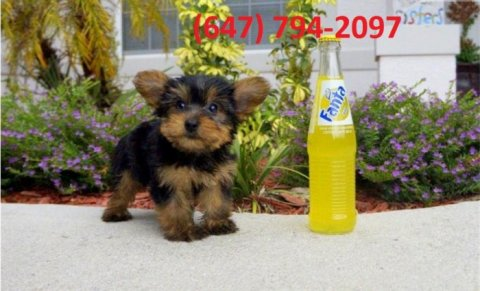 Male and Female Yorkshire Terrier Puppies