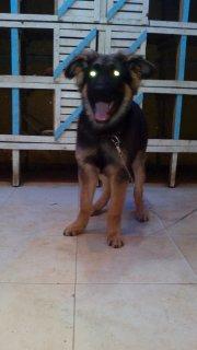 كلب جيرمن شيبرد بيور 3شهور للبيع