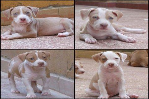 Pure pitbull puppies for sale جراوي بيتبول بيور للبيع