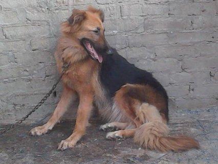 كلبه جيرمان 11 شهر ونص حمر دم
