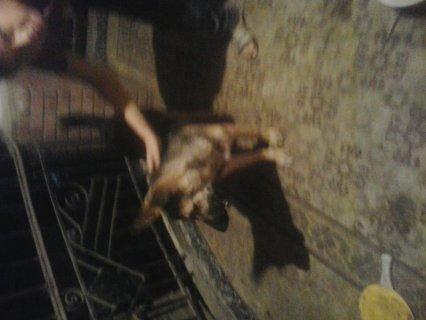 كلب جيرمن للبيع