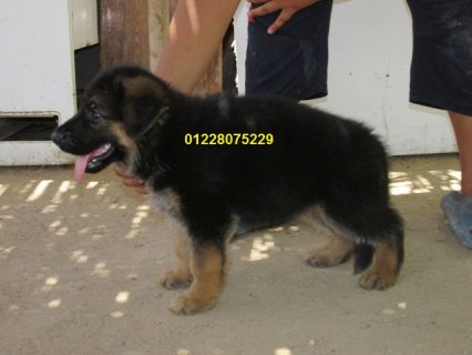 Gsd puppies for sale.