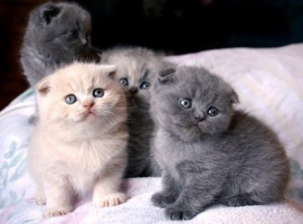 Male Scottish Fold Kittens