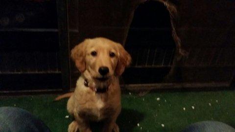 كلبه جولدن ريتريفر ..5 شهور بمدينه نصر