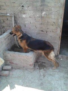 كلبه جيرمان 12 شهر حيضه واص بوكسر