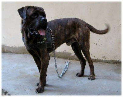 كلب بيتبول للبيع فى القاهرة بسعر مغرى جدا