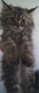قط شيرازى تايجر - شعر كثيف - كثير اللعب