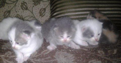 قطط شيرازاي ابيض