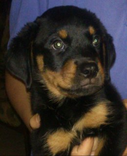Pure Rottweiler Puppies 50 Days