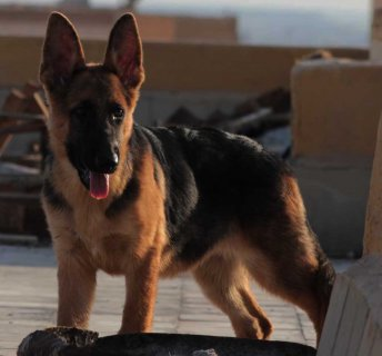 جروية (German Shepherd) للبيع