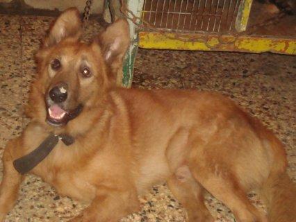 كلب مالينو قاتل للحراسات الخاصة للمنازل والفلل والمصانع