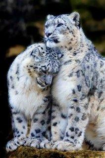 cheetah cubs, cougar cubs,jaguar cubs,leopard for sale