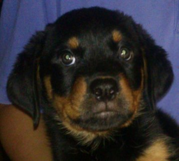 Pure Breed Rottweiler Puppies